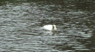 Swan, cleaning Stock Footage