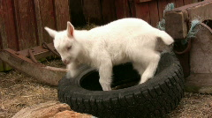 Goat in a tyre Stock Footage