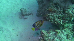 Angelfish in the Red Sea Stock Footage