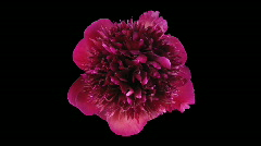 Time-lapse of dying red peony 3 with ALPHA matte top Stock Footage