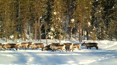 Herd of Reindeer Sweden - stock footage