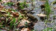 FrogsFightingForLove Stock Footage