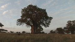 Baobab Stock Footage
