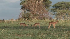 Stock Video Footage of male antelopes