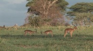 Male antelopes Stock Footage
