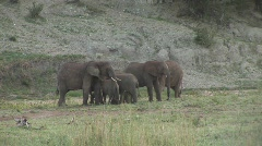 Herd elephants Stock Footage