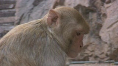 A Macaque Monkey Snacks On Leftovers Stock Footage