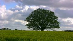 Time lapse of oak tree in a rape field Stock Footage