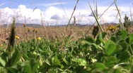 Stock Video Footage of Bolivian roadside flowers