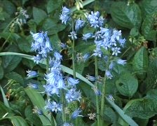 Blue bells in the wind Stock Footage