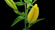 Time-lapse of yellow lily opening 4 with ALPHA matte Stock Footage