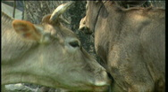 Cow and calf Stock Footage