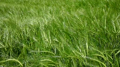 Green wheat field closeup - stock footage
