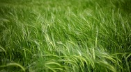 Stock Video Footage of Green wheat field closeup