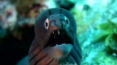Black moray - stock footage
