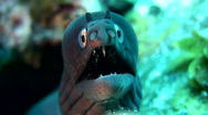 Stock Video Footage of Black moray