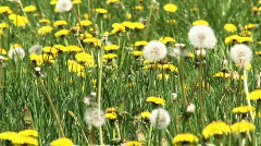 dandelion field, HD 1080 - stock footage