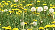 Stock Video Footage of dandelion field, HD 1080