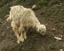 Pashmina (cashmere) goat  Stock Footage
