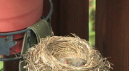 Robin and Nest 502 Stock Footage