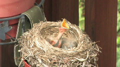 Robin and Nest 503 - stock footage