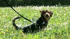 Dog training, peeing, HD 1080 Stock Footage