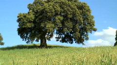 Oak Tree, Andalucia, Spain Stock Footage