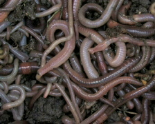 Worms 1 - stock footage