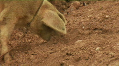 Pig sniffing - stock footage