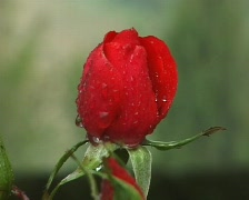 Red rose in the rain Stock Footage