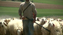 Herding the sheep - stock footage