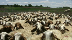 Sheep in spring - stock footage