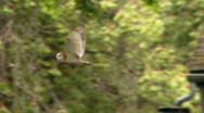 Barn Owl in Flight (strix varia) Stock Footage