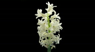 Time-lapse dying white hyacinth Christmas flower 2 ALPHA matte front Stock Footage