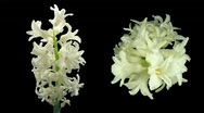 Time-lapse dying white hyacinth Christmas flower 3 two cameras composition Stock Footage