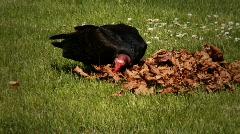 Vulture, Turkey Vulture  Stock Footage