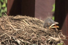 Baby Robins 507 Stock Footage