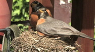 Stock Video Footage of Robin's Nest 509
