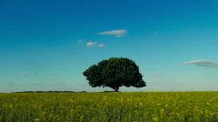 Single tree in a canola field under blue sky Stock Footage