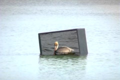 Pelican On Partially Submerged Television - stock footage