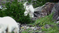 Mountain Goats 3 Stock Footage
