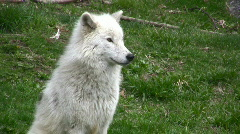 White Arctic Wolf Sitting Stock Footage