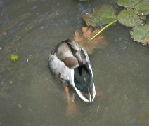 Mallard duck fishing for food Stock Footage