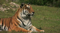 Tiger relaxing in grassy area Stock Footage