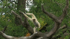 White Gibbon playing in the trees Stock Footage