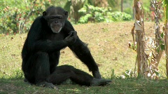 Chimpanzee sitting in the grass Stock Footage