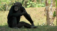 Stock Video Footage of Chimpanzee sitting in the grass