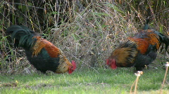 Roosters 3 - stock footage