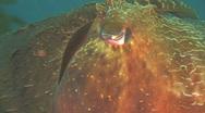 Stock Video Footage of Australian Giant Cuttlefish NTSC