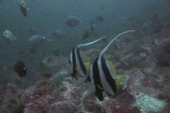 Banner Fish SD NTSC Stock Footage